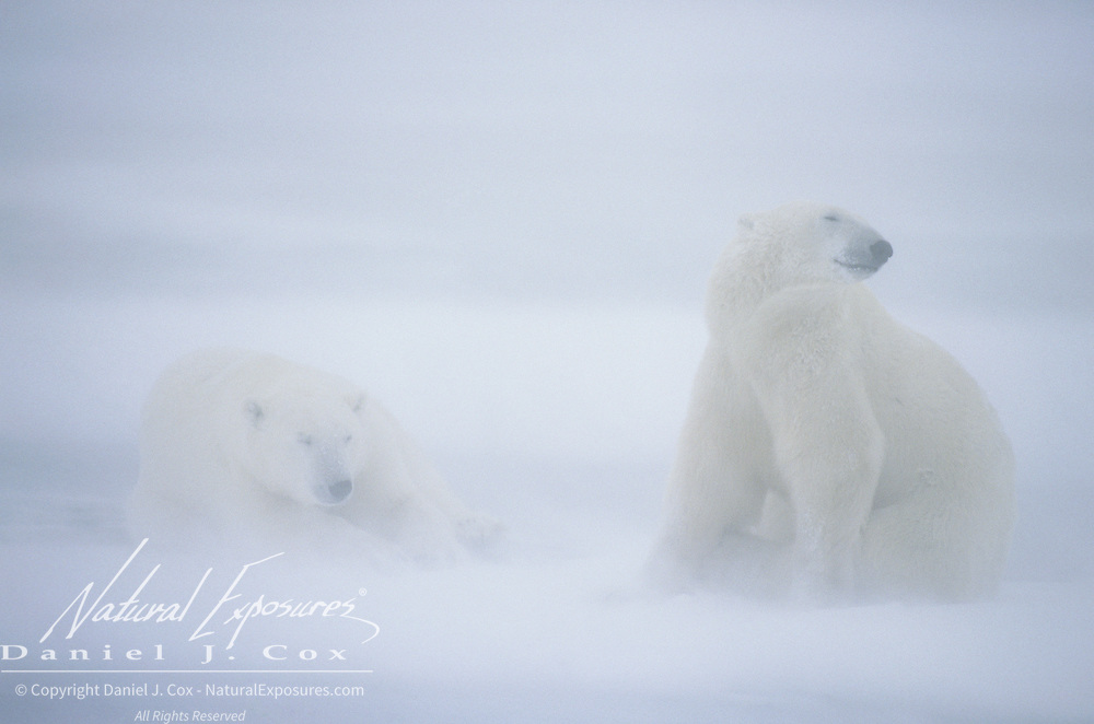 Polar Bear (Ursus maritimus) on frozen Hudson Bay in blowing snow. Churchill, Manitoba, Canada
