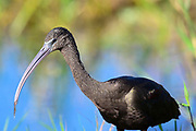 Wildlife photography from The Great Florida Birding Trail