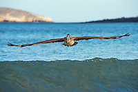 Brown Pelican fishing at Espumilla Beach on Santiago Island, Galapagos, Ecuador.