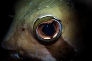 Diodon liturosus (Blackblotched Porcupinesfish)