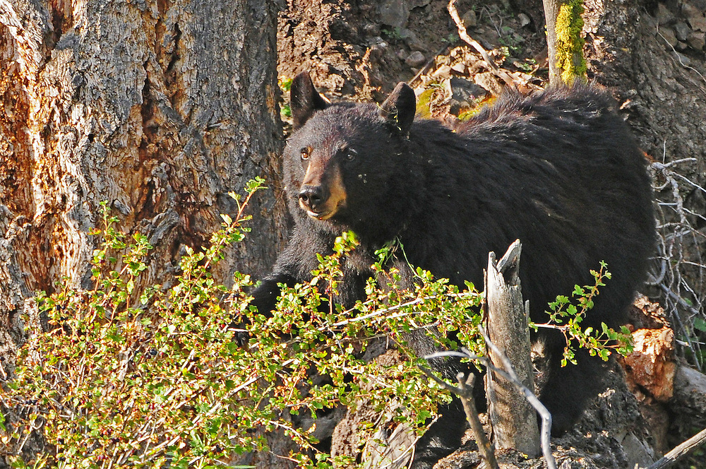 The black bear is highly adaptable to the environment and has a wide range of food tastes. The bear's diet is varied, but is mostly vegetarian, including twigs, roots, young plants, buds and the ever-popular berries.