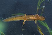 Red-spotted Newt larva; Notophthalmus viridescens;