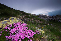 Silene acaulis; Moss campion, Augstenberg, Liechtenstein