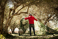 Stavros Garakis repositions a net used to catch falling olives from the trees. The month of November is prime olive harvesting season on the Greek island of Crete . Commissioned by PR Media Co.
