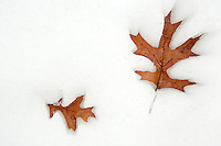 JEROME A. POLLOS/Press..Leaves create an impression of their outline while sinking in the softening snow Monday near Tubbs Hill in Coeur d'Alene.