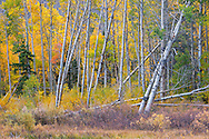 Fall foliage changing color in aspen grove, Lundy Canyon, Inyo National Forest, Mono County, Eastern Sierra, California