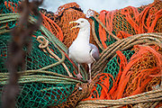 A seagull sits on the nets hitching a ride back to the harbour. Luke is a Folkestone based fisherman out trawling for a 12 hour night solo shift on a fishing trip in his boat Valentine (FE20), Hythe Bay, the English Channel, United Kingdom.  (photo by Andrew Aitchison / In pictures via Getty Images)
