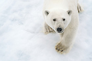 A young polar bear wanders atop the Arctic Ocean sea ice, September, 2012. Loss of ice habitat has made the species greatly endangered.