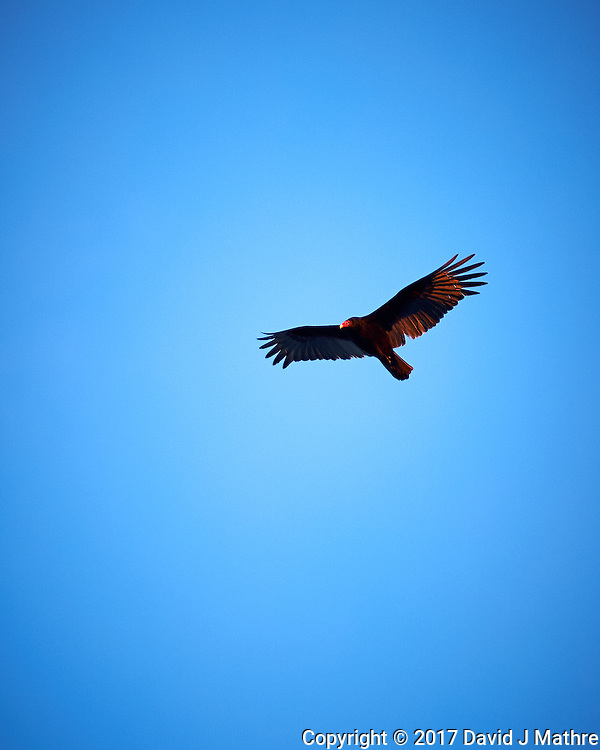 Turkey vulture soaring in the late afternoon sun. Winter nature in New Jersey. Image taken with a Nikon Df camera and 70-200 mm f/2.8 lens (ISO 400, 200 mm, f/2.8, 1/800 sec).