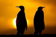 Königspinguine (Aptenodytes patagonicus) sind meist monogam und paaren sich mit dem Partner aus der vorhergehenden Brutsaison. | King penguins (Aptenodytes patagonicus) are mostly monogamous and mate with the  partner of the previous breeding season.