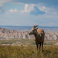 A female Bighorn sheep looking off into the distance with South Dakota's Badlands behind her.  A female Bighorn sheep's horns are shorter and have less of a curve than a male's horns.