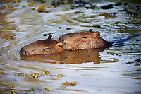 Two Capybara (Hydrochoerus hydrochaeris) swimming,  The Pantanal, Mato Grosso, Brazil