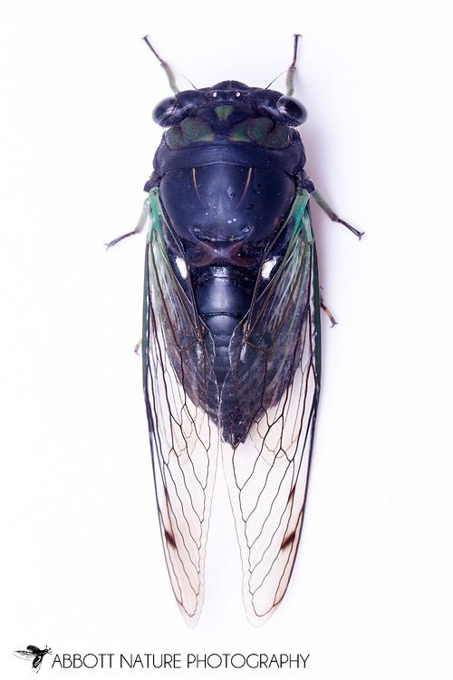 Swamp Cicada (Tibicen tibicen tibicen)<br /> TEXAS: Lamar Co.<br /> Camp Maxey National Guard<br /> Powderly  4.VIII.2014<br /> N33.78015 W95.53824 351 ft<br /> J.C. Abbott #2676 &amp; K.K. Abbott