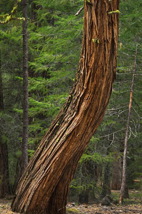 Incense Cedar (Calocedrus decurrens), Northern California