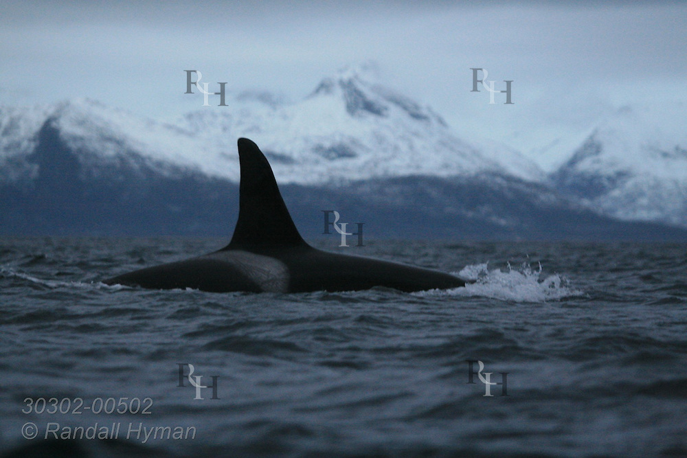 Orca, or killer whale, surfaces in Norwegian Sea on winter day in Arctic amid towering, snowy mountains of Tysfjord, Norway.