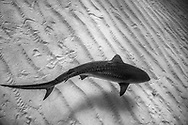 Tiger shark on sand