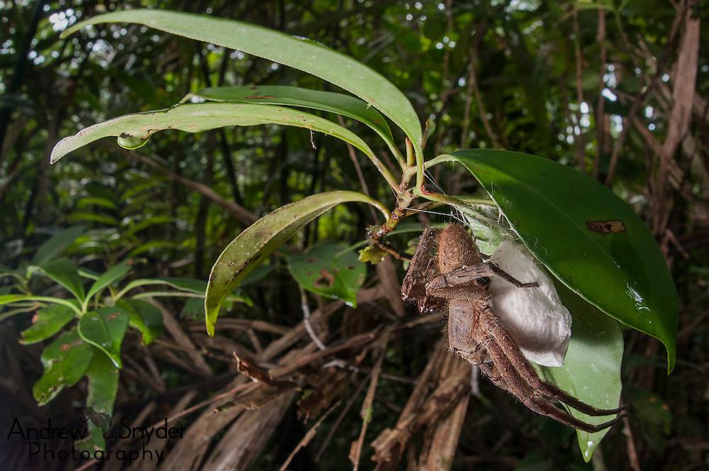A female Brazilian wandering spider (Phoneutria nigriventer) guarding her egg sac. Surama, Guyana.