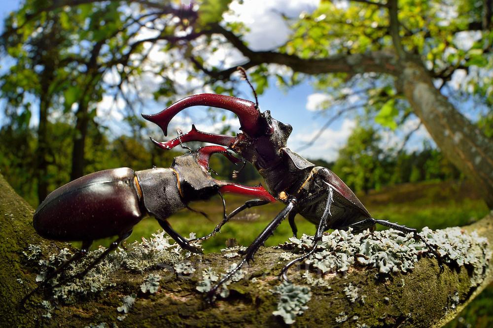 Sequence 5/6) - Rivals Stag beetle (Lucanus cervus) two males displaying aggressive behaviour on oak tree branch. Biosphere Reserve 'Niedersächsische Elbtalaue' (Lower Saxonian Elbe Valley), Germany | Serie (5/6) - Hirschkäfer-Männchen (Lucanus cervus) dulden sich nicht auf dem gleichen Eichenast und so kommt es immer wieder zu kleinen Kämpfen, bis ein Kafer vom Ast fällt oder flieht. Elbtalauen, Deutschland