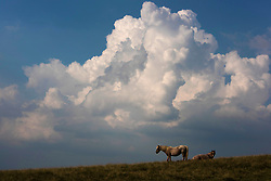 © Licensed to London News Pictures. 12/08/2020.  Builth Wells, Powys, Wales, UK. Two Welsh mountain ponies are seen against a backdrop of a large developing cumulonimbus thunderstorm cloud on the Mynydd Epynt moorland near Builth Wells in Powys, Wales, UK. as thunder, lightning and heavy rain continue to hit many parts of Wales. Photo credit: Graham M. Lawrence/LNP