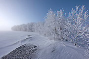 Hoarfrost covered shelterebelt trees at sunrise<br />
