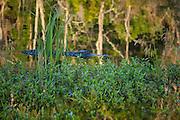 alligator in protected fresh water estuary habitat. <br /> Savannah National Wildlife Refuge. Hardeeville, SC