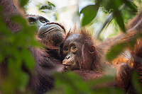 A Bornean orangutan baby (Pongo pygmaeus) and mother, nursing, in the tree canopy in Tanjung Puting National Park, Borneo, Indonesia.