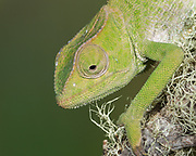 Baby Graceful Chameleon, Chameleon gracilis, controlled conditions