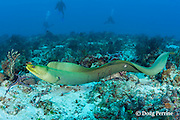 divers observe free-swimming green moray eel, Gymnothorax funebris, Playa del Carmen, near Cancun, Quintana Roo, Yucatan Peninsula, Mexico ( Caribbean Sea )