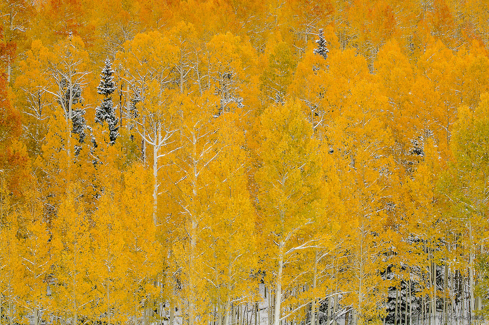 Fresh new snow decorates an autumn aspen landscape in the Uncompahgre Range & wilderness; Uncompahgre National Forest, Owl Creek Pass, Colorado