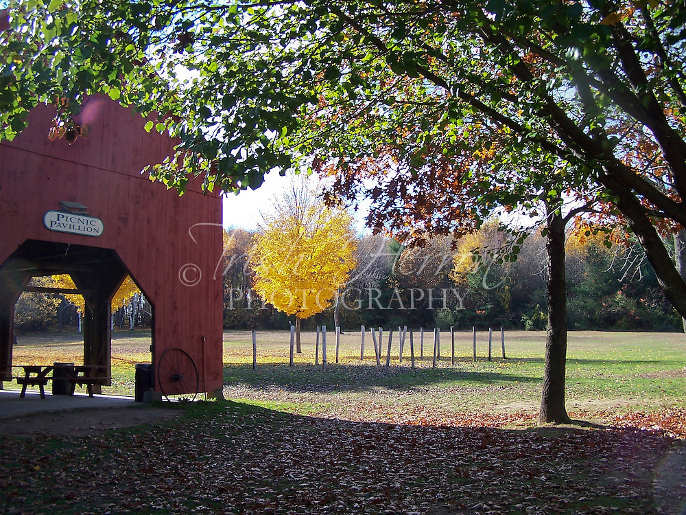 A yellow maple is framed by trees and a red barn or pavilion.