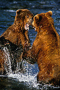 Image of two grizzly bears (Ursus arctos horribilis) fighting, Brooks Falls, Katmai National Park, Alaska, Pacific Northwest