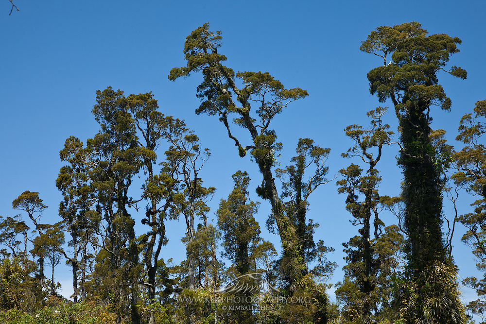 Kahikatea trees at West Coast, New Zealand