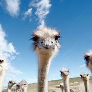 Oudtshoorn  Syd Afrika 2003 <br /> South Africa<br /> <br /> Strutsarnas huvudstad <br /> finns ingen stad i v&auml;rlden med s&aring; m&aring;nga strutsar strutsfarm struts fj&auml;der<br /> <br /> <br /> <br /> <br /> FOTO : JOACHIM NYWALL KOD 0708840825_1<br /> COPYRIGHT JOACHIM NYWALL<br /> <br /> ***BETALBILD***<br /> Redovisas till <br /> NYWALL MEDIA AB<br /> Strandgatan 30<br /> 461 31 Trollh&auml;ttan<br /> Prislista enl BLF , om inget annat avtalas.