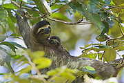 Brown-throated Three-toed Sloth <br /> Bradypus variegatus<br /> Mother and newborn baby (less than 1 week old)<br /> Limon, Costa Rica