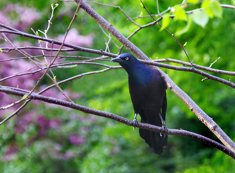 A grackle in a tree inside the Japanese Gardens.