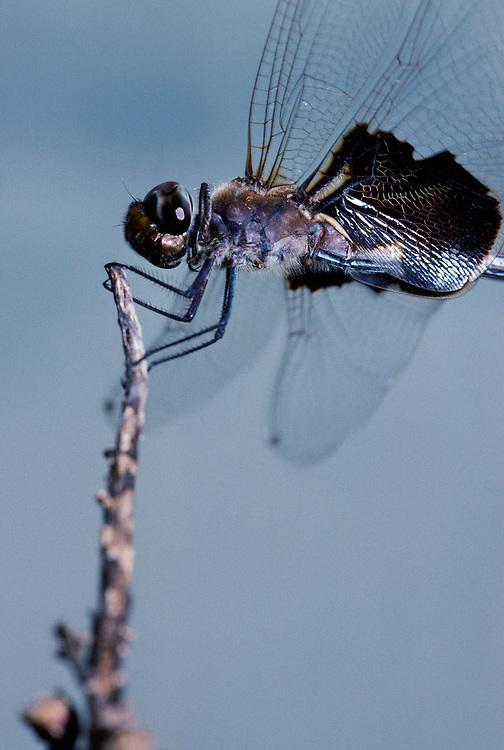 Black Saddlebags dragonfly, Norfork Lake, Baxter County, Arkansas..