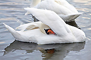 An adult swan preens itself on a small lake or large pond.