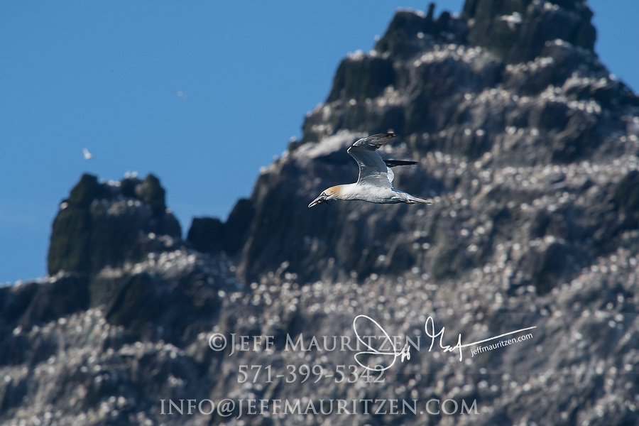 A lone Northern gannet in flight flies past the island of Little Skellig, County Kerry, Ireland.