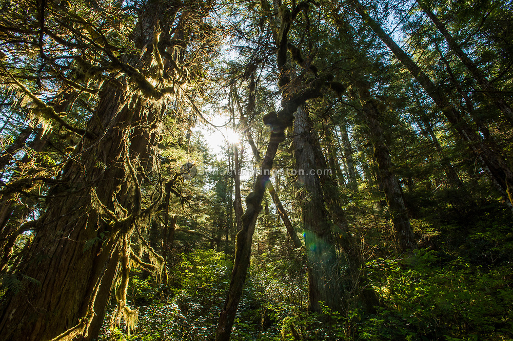 Sunburst and moss covered tree branches in a temperate rainforest, BC.