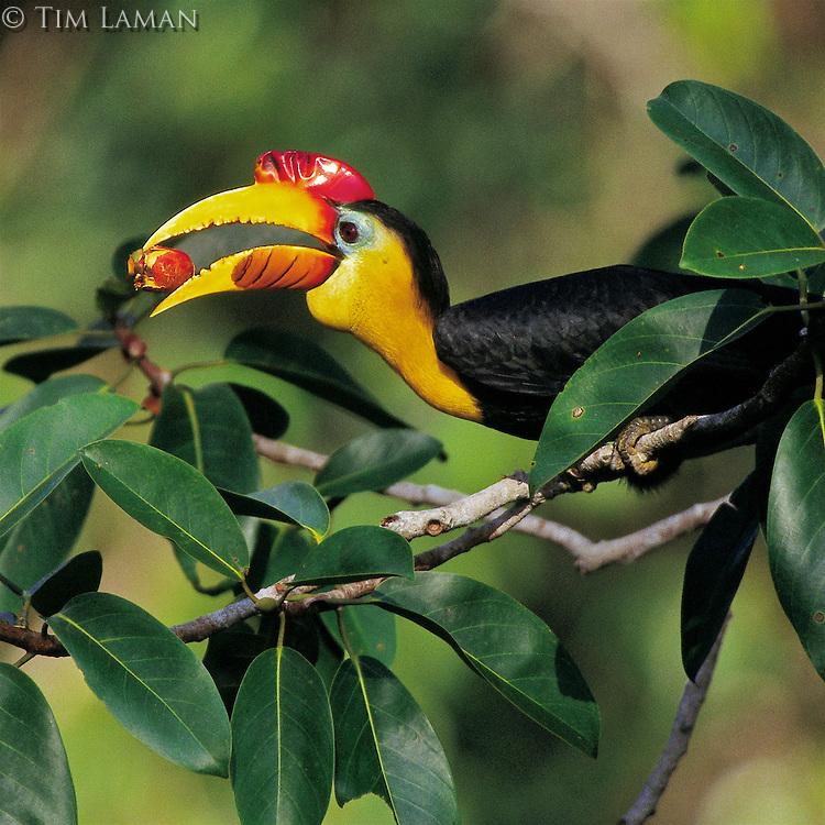 Wrinkled Hornbill (Aceros corrugatus) male eating fig.  Gunung Palung N.P., Borneo, Indonesia<br /> IUCN Red List: Near Threatened