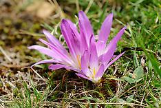 Bergtijloos, Colchicum montanum