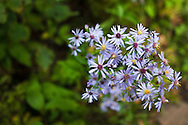 Seven participants and two guides led a Wilderness Inquiry canoe adventure on Brule Lake in the Boundary Waters from Sept. 5 to September 9, 2012...A Prairie Aster blooms along a trail.