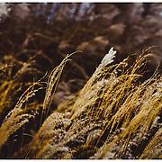 kew grass