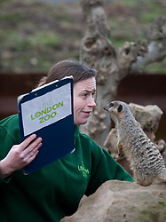 ©London News Picures. 04/01/2011. A Zoo keeper feeds a meerkat before making a record of their numbers at London Zoo as part of the zoo's annual stocktake on January 4, 2011 in London, England. ZSL London Zoo is home to over 650 different species which all need to be cataloged in their annual stocktake which is a compulsory requirement for their zoo license.Photo credit should read Fuat Akyuz/London News Pictures.