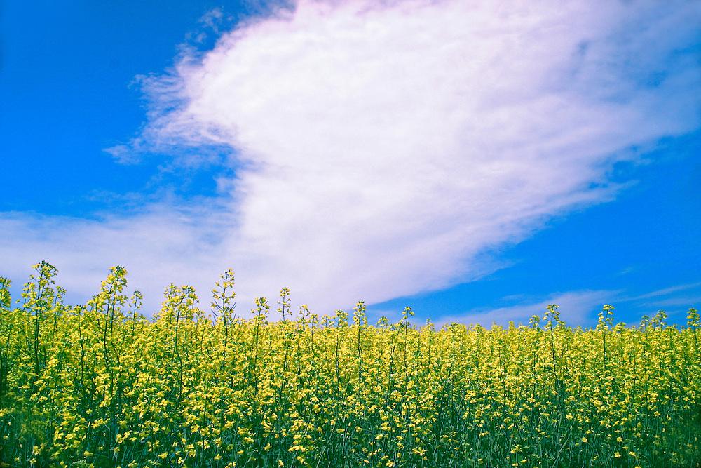 Field of yellow mustard against a blue sky, Saskatchewan