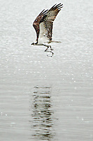 An osprey flies over the surface of Fernan Lake after grabbing a trout out of the water Monday, April 18, 2011.
