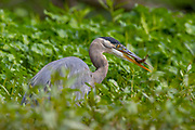 A great blue heron (Ardea herodias) catches a small fish among the water pennywort in the wetlands of the Washington Park Arboretum, Seattle, Washington.