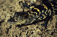 Vereinigte Staaten von Amerika, USA, Florida: amerikanischer Mississippi-Alligator (Alligator mississippiensis). Drei Monate altes Alligatoren-Baby. | United States of America, USA, Florida: American Alligator, Alligator mississippiensis, three month old baby Alligator. |