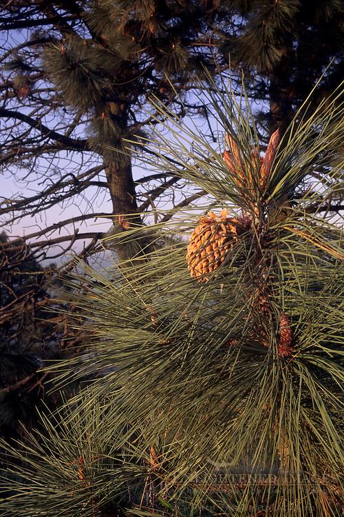 Pine tree showing long needles and cone(s), Tilden Regional Park, Berkeley Hills, CALIFORNIA