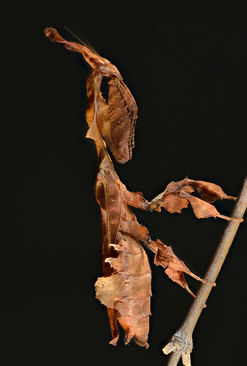 Ghost Mantis, (Phyllocrania paradoxa), captive